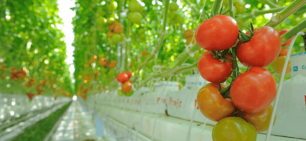 Greenhouse Vegetables